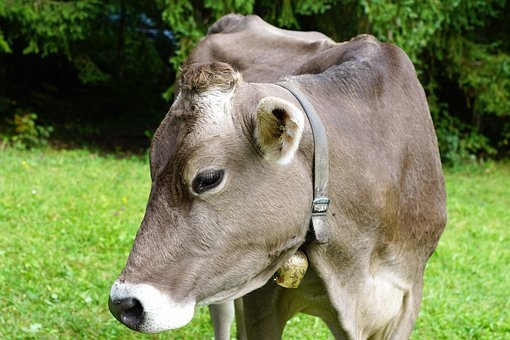Cow, Milk, Agriculture, Beef, Farm, Animal, Nature