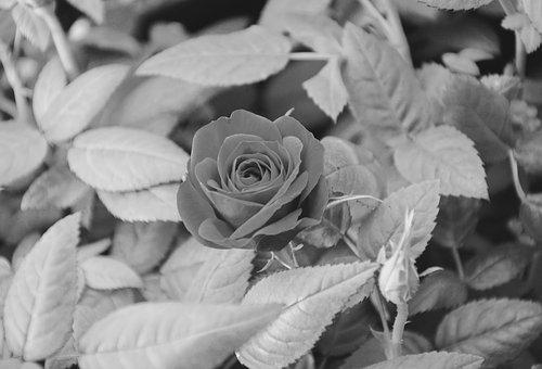 Pink, Photo Black White, Offer Nature, Nature, Plant