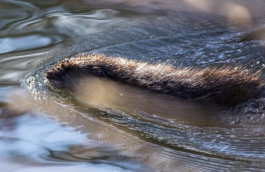 Animal, Beaver, Nature, Rodent, Beaver Damage, Water