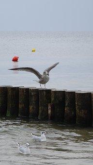 Sea, Bird, Animal, Seagull, The Coast, Swan