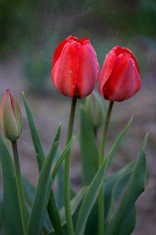 Tulips, Red, Rain, Supplies, Flowers