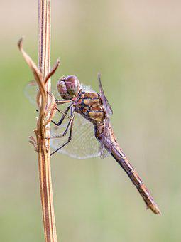 Dragonfly, Nature, Close, Insect, Macro, Animal, Wing