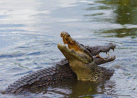 Crocodile, Cuba, Animal, Reptile, Animal Recording