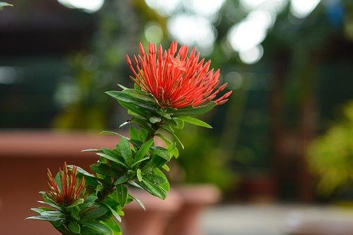 Flower, Flora, Asoka, Nature, Garden, Plant, Botanical