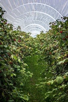 Raspberries, Raspberry Field, Plant, Cultivation, Bio