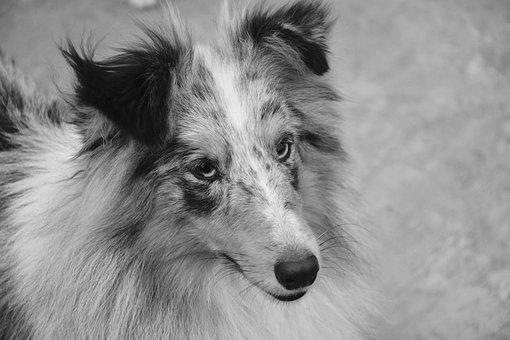Dog, Bitch, Shetland Sheepdog, Photo Black White