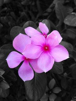 Catharanthus Roseus, Flower, Black White