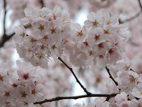 Flower, Cherry, Blossom, Nature, Japanese
