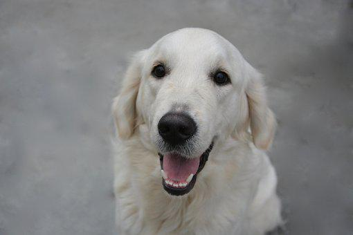 Dog, Dog Golden Retriever, Domestic Animal