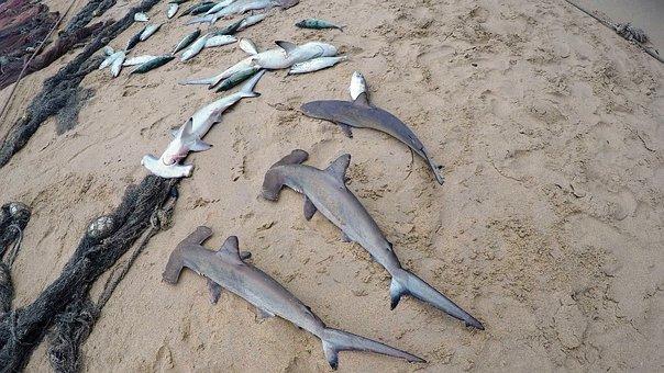 Seychelles, Beach, Fishing, Baby Sharks