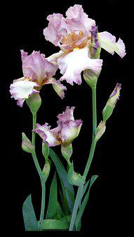 Flower, Iris, Mauve, Pink