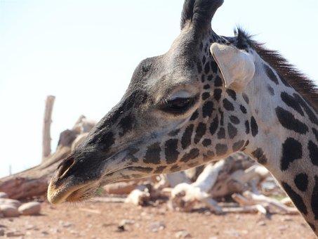 Giraffe, Africa, Zoo, Wildlife, Animal, Funny, Head