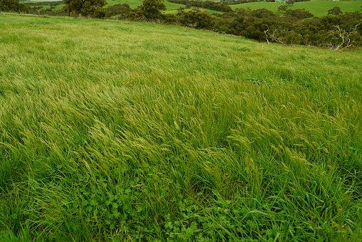 Wind Swept Field, Green Grass, Tall Grass, Rural