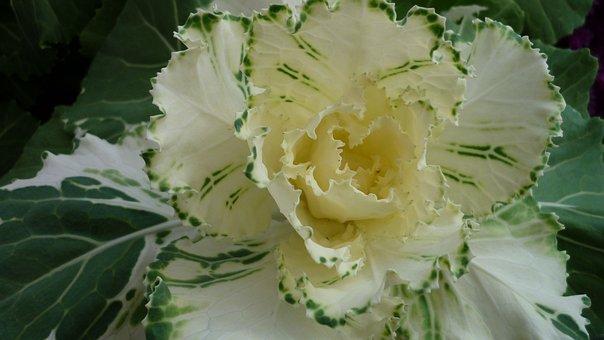 Ornamental Vegetables, Leaves, Inside, Bright Yellow