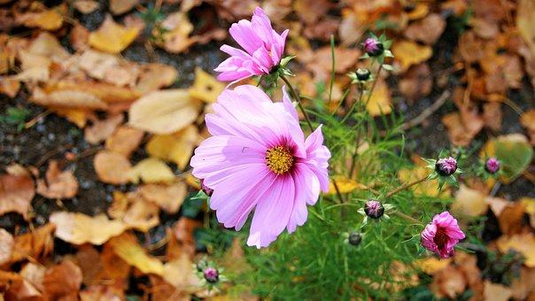 Anemones, Autumn Flowers, Autumn, Dry Leaves, Park