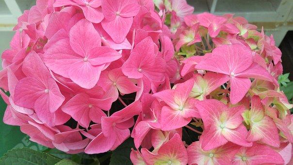 Hydrangea, Pink, Flower, Blossom, Plant, Nature, Garden
