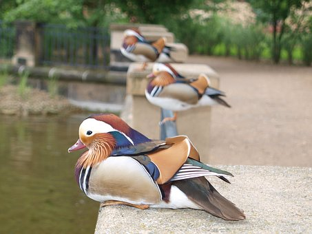 Mandarin Ducks, Duck, Bird, Water Bird, Plumage