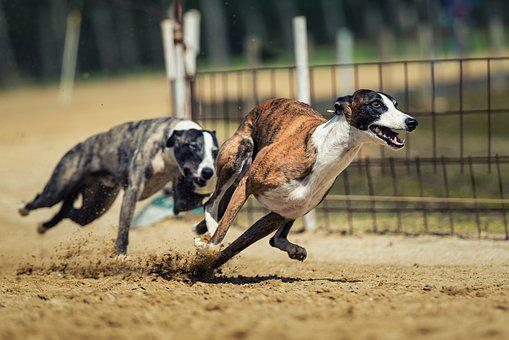Dog Racing, Dog, Animal, Race, Fun, Dog Run, Fast