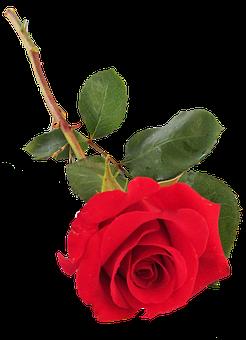 Rose, Red, Single Stem