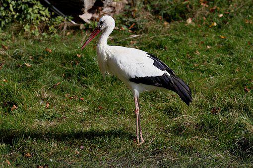 White Stork, Bird, Stork, Rattle Stork, Animal, Nature