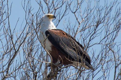 Adler, Wetland, Africa, Bird Of Prey, National Park