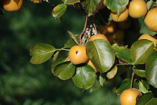 Apple, Apples, Yellow, Manzano, Galician Apples, Fruits