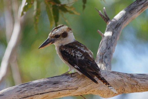 Lachender Hans, Bird, Australia