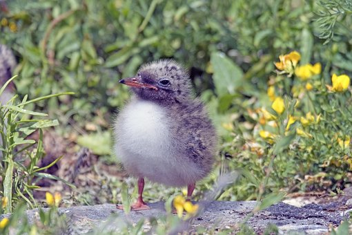 River Tern, Chick Of River Tern, Young Bird Common Tern