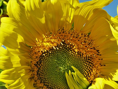 Sunflower, Enormous, Yellow, Close Up, Garden