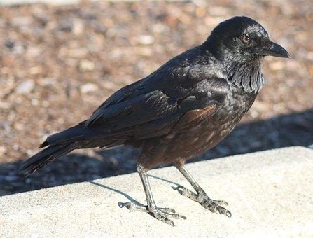 Crow, Bird, Black, Raven, Nature, Animal, Wildlife
