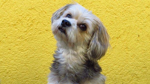 Animal, Dog, Yorkshire Maltese