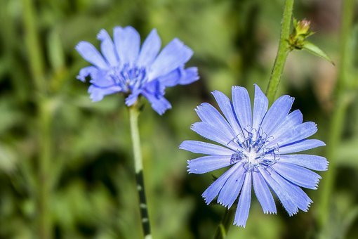 Wild Flower, Blue, Tiny, Filigree, Nature, Delicate