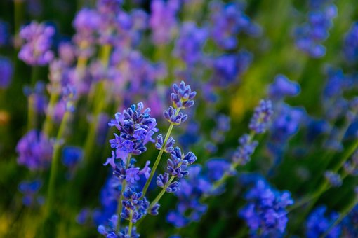 Lavender, Yili, Flower