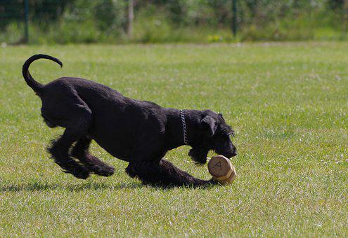 Dumbbell Retrieve, Giant Schnauzer, Competition, Dog