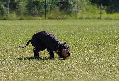Giant Schnauzer, Competition, Dumbbell Retrieve, Dog