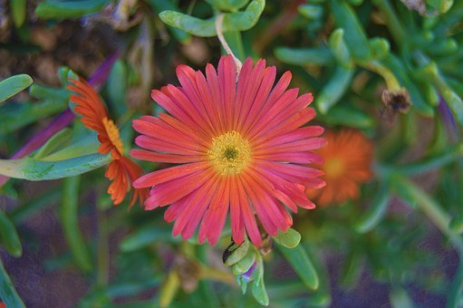 Flower, Orange Flower, Gross Floor, Succulent Plant
