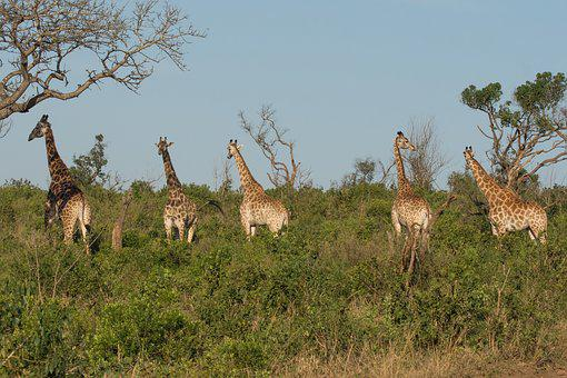 Giraffe, Kwazulu Natal, Africa, South Africa