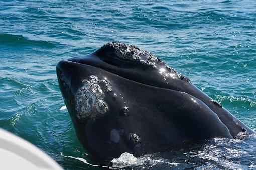 Wal, South Africa, Hermanus, Fin, Mammal, Marine Life