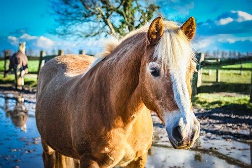 Warmblut, Horse, Mare, Pasture, Animal, Farm, Mammal