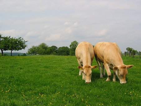 Meadow, Whey, Cows
