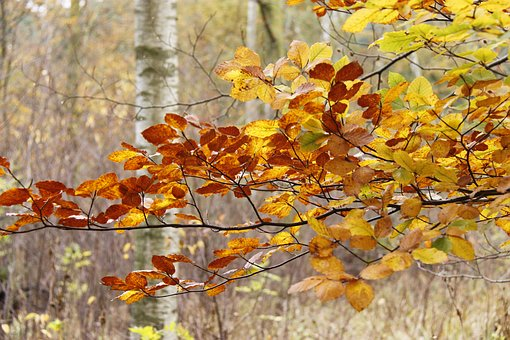Forest, Autumn, Denmark, Autumn Leaves, Natural