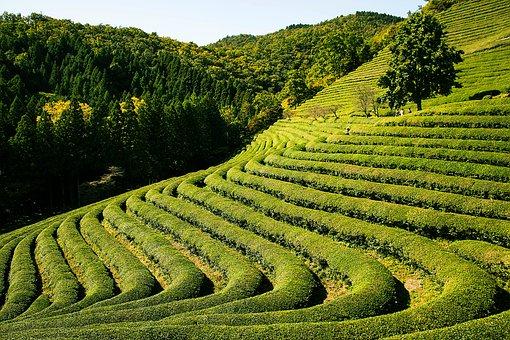 Tea Garden, Nature, Plant, Greenery, Outdoor, Fun
