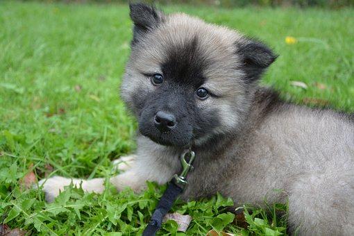 Puppy, Dog, Bitch, Female, Eurasier, Color Dark Sable