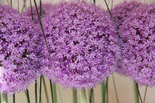 Ornamental Onion, Plant, Purple, Flowers, Garden