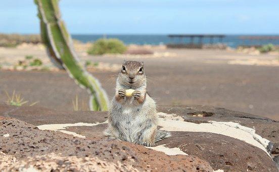 Atlas Croissant, Fuerteventura, Rodent, Nager