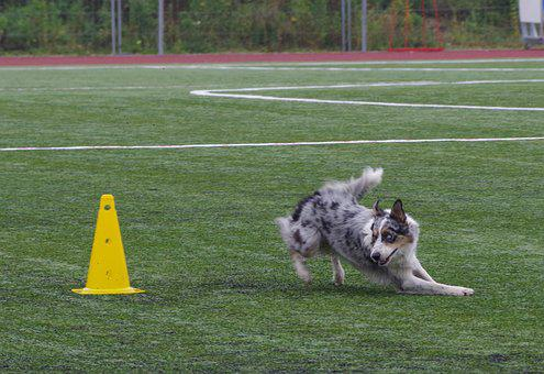 Border Collie, Obedience, Competition, Running, Dog