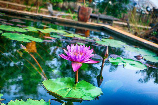 Shapla Ful, Flower, Water, Nice Weather, Natural