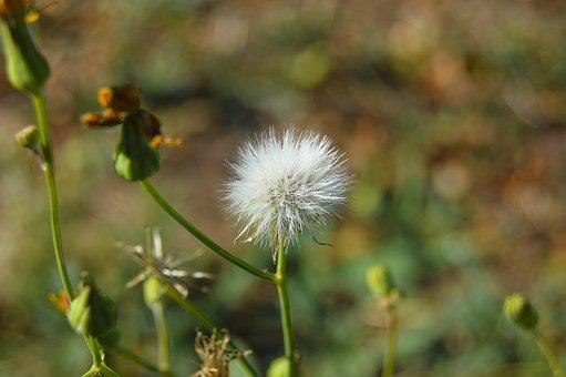 Grinder, Dandelion, Plant, Wild Flowers
