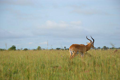 Wild Life, Uganda, Buschbock