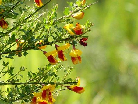 Broom, Yellow, Blossom, Bloom, Gorse Blossom, Bush